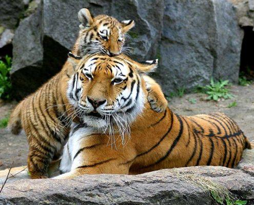 Tigrar på Berlins zoo