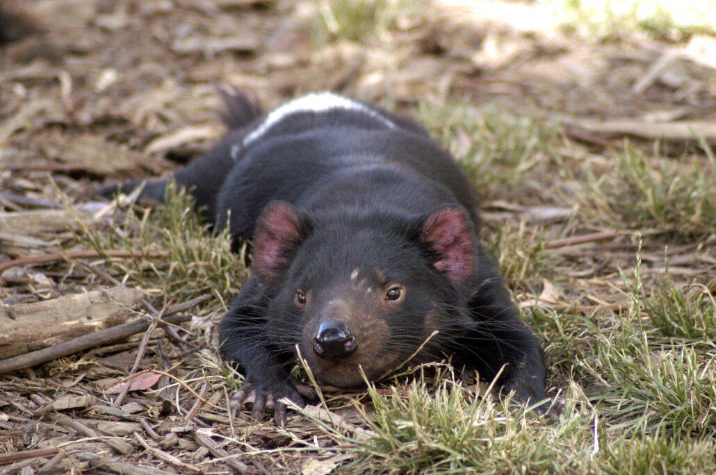 En tasmansk djävul.